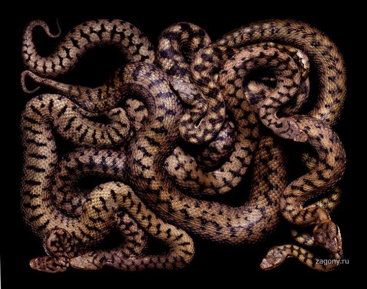 клубок змей фото