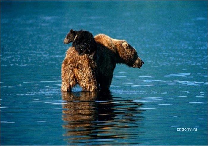 Медведи (24 фото)