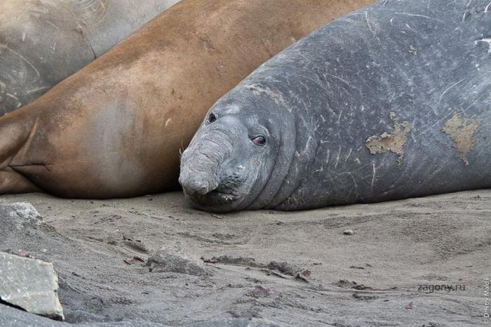 Будни морских слонов (27 фото)