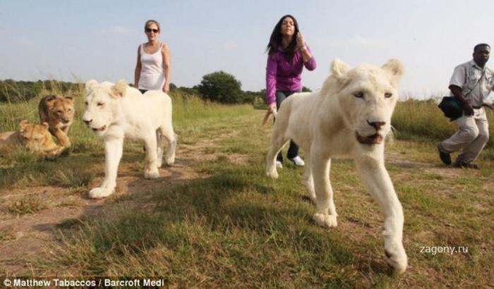 Экстремальная прогулка со львами (18 фото)