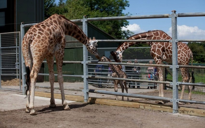 Новорожденный жираф (9 фото)