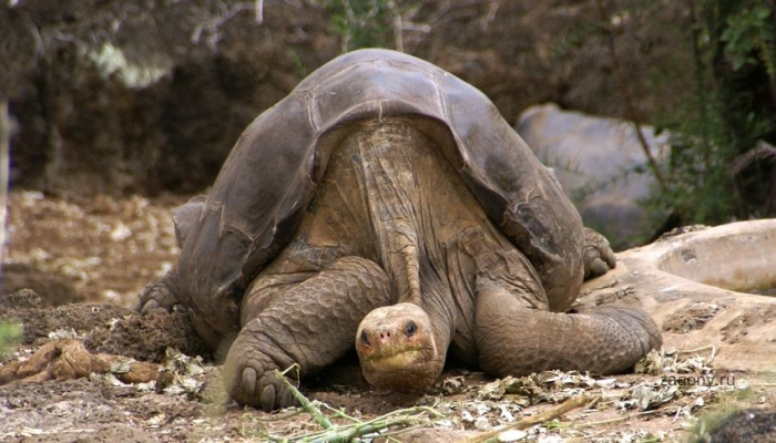 Последняя слоновая черепаха (3 фото)