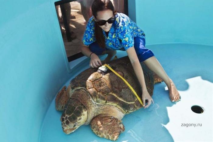 Морская черепашка возвращается домой (10 фото)