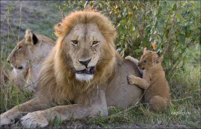 Первая встреча львенка с отцом (5 фото)