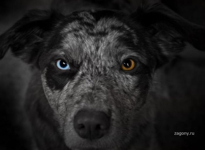 Необычные животные с разноцветными глазами (20 фото)