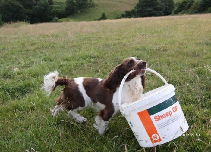 Пес помогает кормить молоком осиротевших ягнят (9 фото)