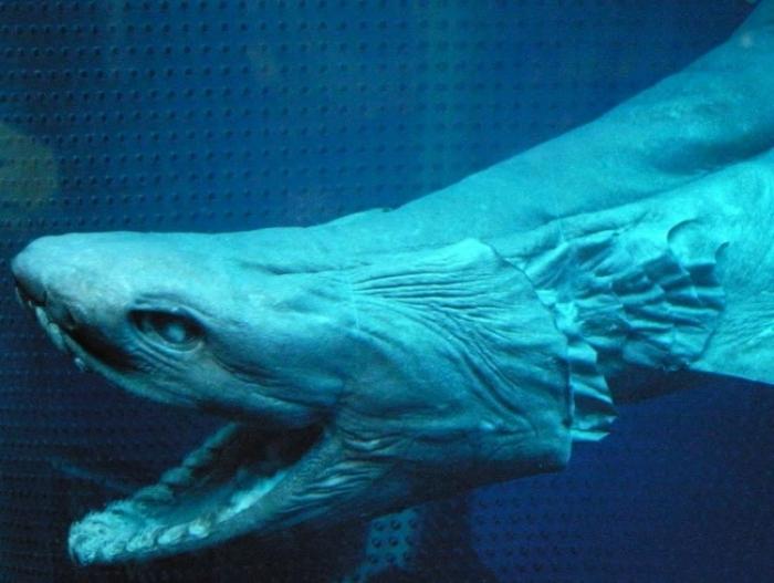 Живое ископаемое - Плащеносная акула (16 фото)