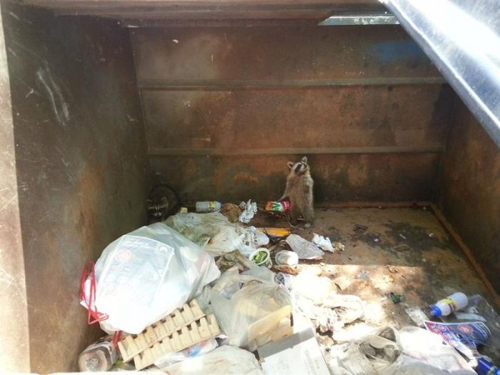 Еноты в мусорном баке (8 фото)