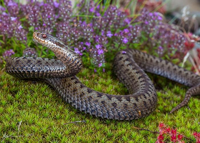 Самые опасные змеи в России