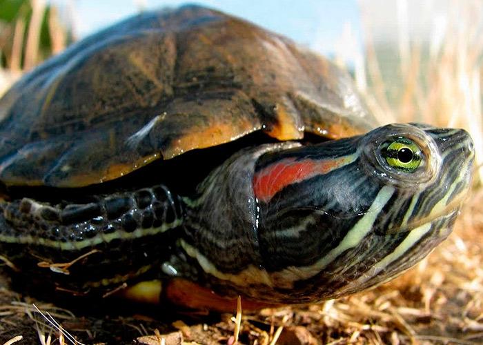 Сколько лет живет черепаха