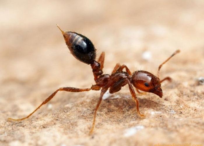 Самые большие муравьи в мире