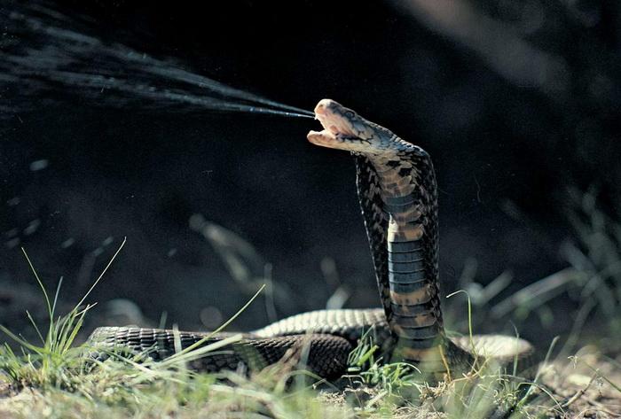 Для чего змеи научились плеваться?
